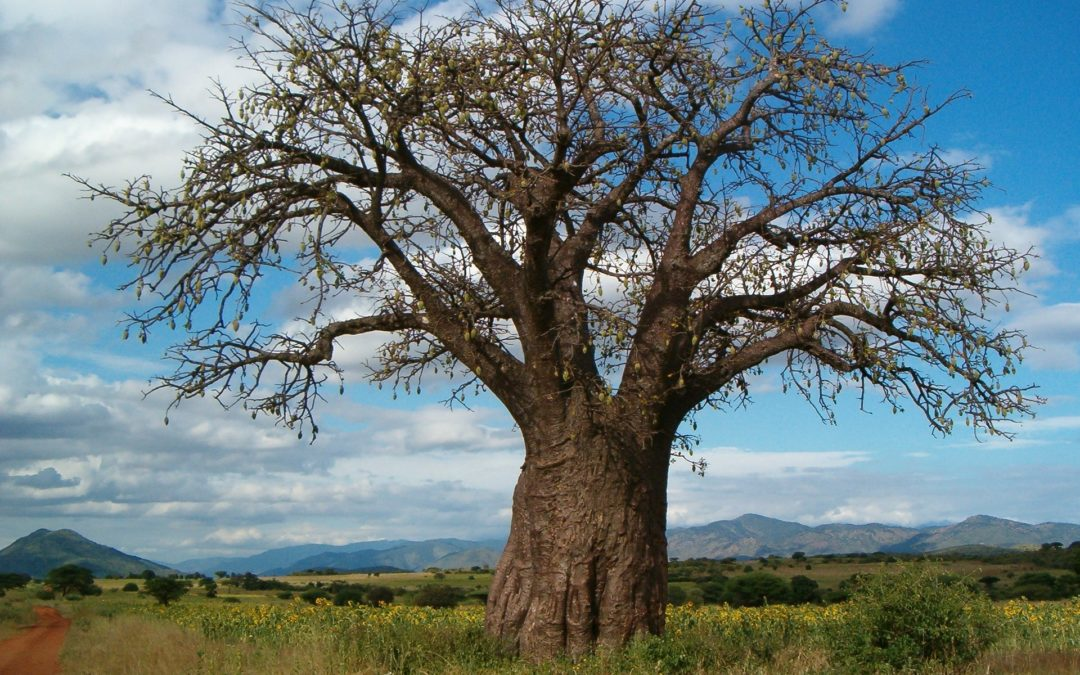 The Science Inside – African Baobab Tree